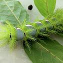 Bulls eye moth