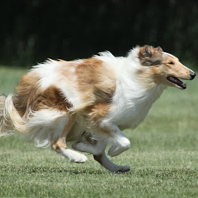 All out by Karin Bennett - Animals - Dogs Running ( collie, dogs, running )