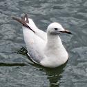 Silver Gull (1st year)