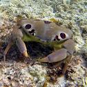 Spotted Reef Crab aka 7-11 Crab, 'Alakuma