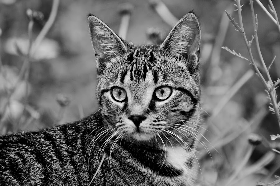 The Cat by Catherine Trudeau - Black & White Animals ( cat, black and white )