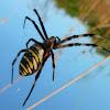 Wasp Spider ♀
