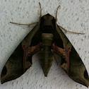 Pandorus Sphinx moth