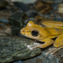 Robust Buerger's frog