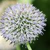 Unknown Allium