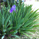 Lirio, Iris Germanica