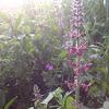 Hedge Woundwort
