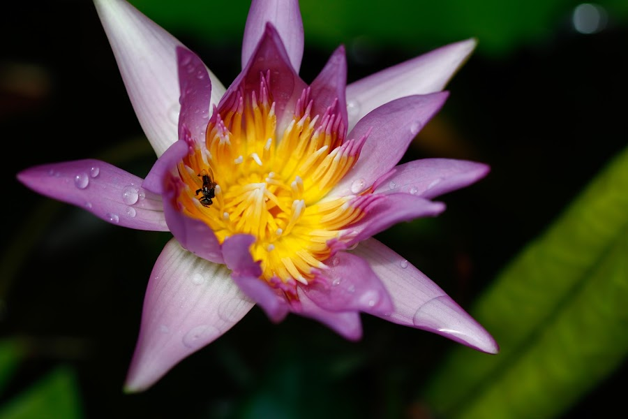 open for business by Michael Pua - Flowers Single Flower ( dewdrops, insect, water lily, close up, pond,  )