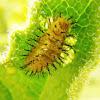 Melon Ladybird larvae