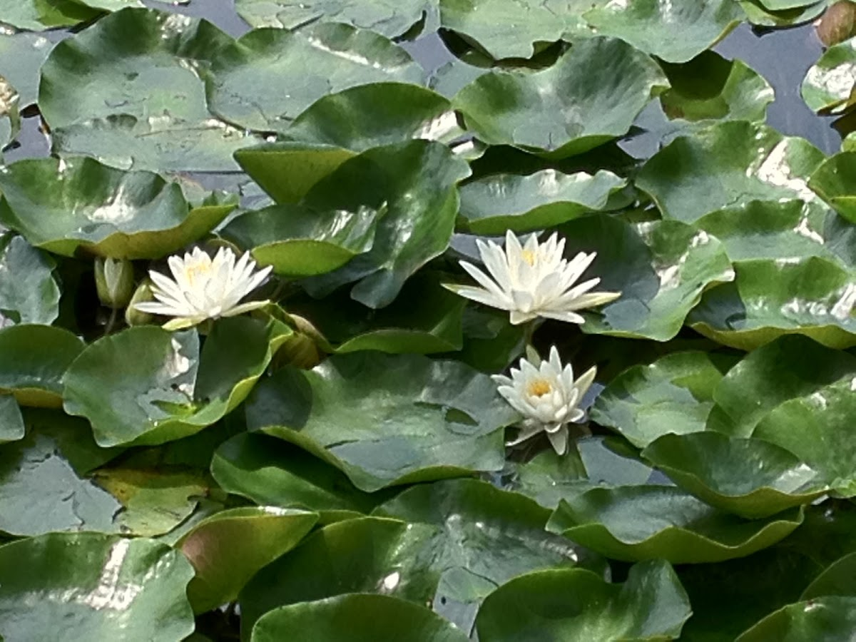 white lily with pads