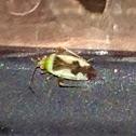 Ornate Plant Bug
