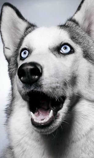 【免費個人化App】Huskies Dogs Wallpapers-APP點子