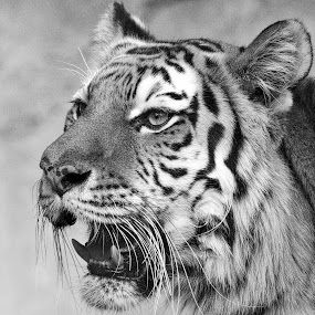 Tiger in Black by Lou Plummer - Black & White Animals (  )