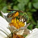 Metallic Green Sweat Bee ♀