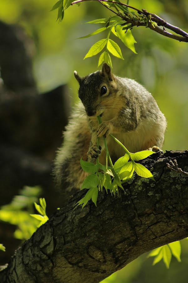Squirrel by Ahmed Abdulkader - Animals Other ( tree, photo, squirrel )