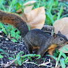 brown squirell