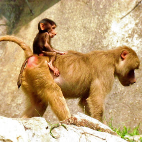 Mom and baby baboon. by Christine Keaton - Animals Other Mammals (  )
