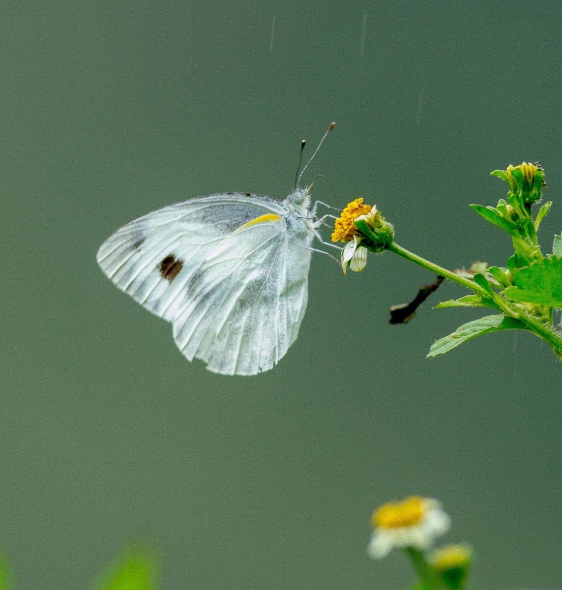 Asian Cabbage White