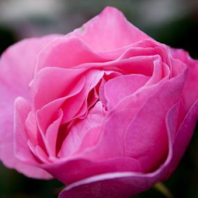 Rose Bud by Shaun Schlager - Flowers Single Flower ( rose, macro, pink, closeup,  )
