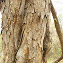 Squirrel Tree (Ardilla)