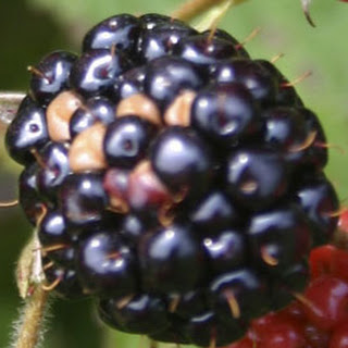 Blackberry-Almond Crumble Cake
