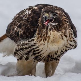 Encounter With a Bird by Danny Andreini - Animals Birds ( bird, bird of prey, winter, cold, animal )