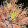 Wild basil; Albahaca de monte