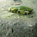 Jewel Beetle (Buprestidae)