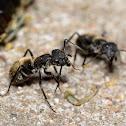 Black Ant, Hormiga Negra