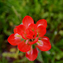 Texas Indian Paintbrush