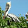 pelícano pardo - brown pelican