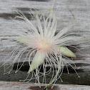 Powderpuff flower