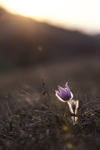 Easter Flower I by Lucija Janša - Novices Only Flowers & Plants ( ray, easter, purple, nature, sunset, evening, flower )