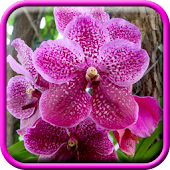 Pink Orchid Live Wallpaper