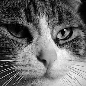 sisi by Sorin Rizu - Animals - Cats Portraits ( cat, portrait, black&white, #GARYFONGPETS, #SHOWUSYOURPETS, , black and white, animal )