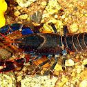 Mount Lewis Spiny Crayfish