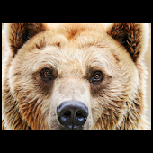 Animals : Bears