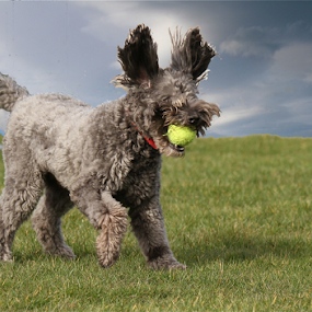 New Alien dog by John Dutton - Animals - Dogs Playing ( poodle, labradoodle, labrador )