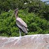 Juvenile Painted Stork