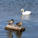 Mute Swan and Mallards