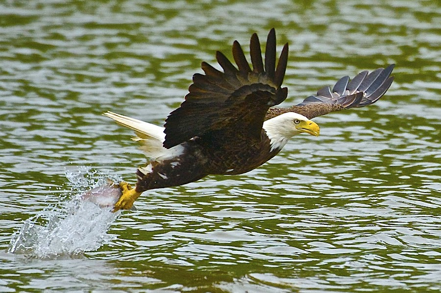 The Grab by Roy Walter - Animals Birds ( water, bird, wild, splash, fish, bald eagle, animal, river,  )