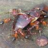 Florida carpentar ants