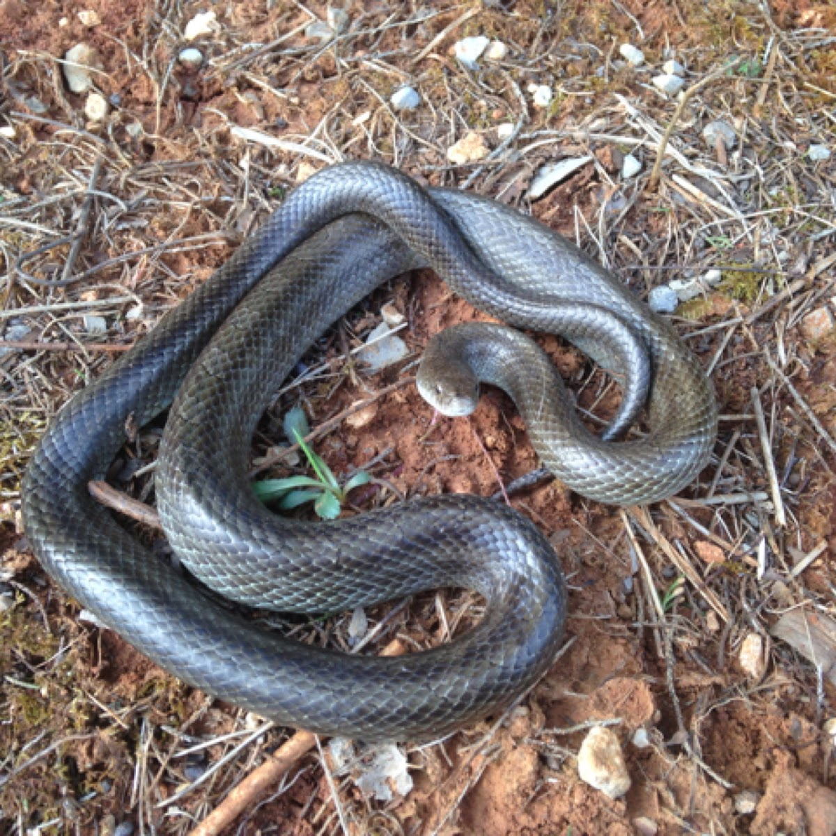 Prairie king snake