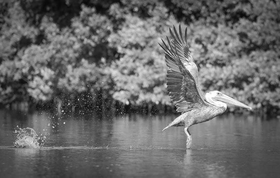 Skip Hop by Jared Lantzman - Black & White Animals ( bird, wings, pelican, birds,  )