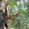 Honey Locust