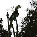 Kangkareng Perut Putih / Oriental Pied Hornbill (Anthracoceros albirostris)