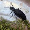 American Oil Beetle