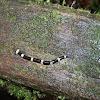 Hammerhead flatworm