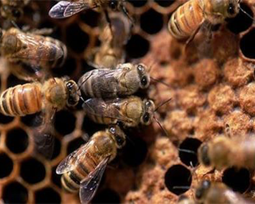 Seputar Lebah dan Madu