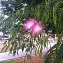 surinam powderpuff tree
